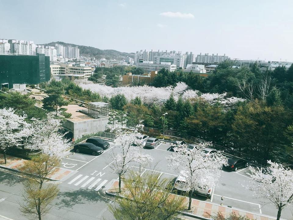 Hoa anh đào ở Hàn Quốc.